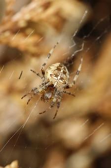 Pionowe zbliżenie żeńskiego pająka krzyżowego na swojej sieci