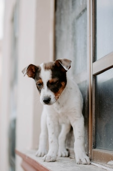 Pionowe zdjęcie cute puppy russel terrier na parapecie