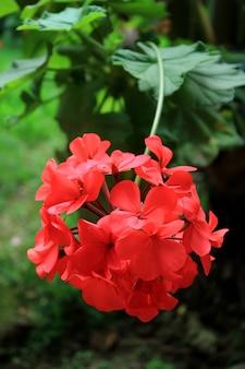 Pionowe zdjęcie kwitnące czerwone kwiaty geranium z niewyraźne zielone liście w tle