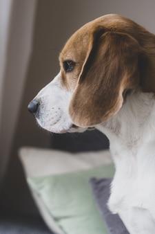 Pionowe zdjęcie portretowe psa rasy beagle