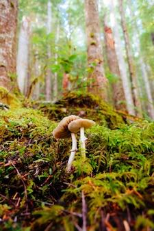 Pionowo selekcyjny zbliżenie strzał pieczarki wśród zielonej trawy w lesie