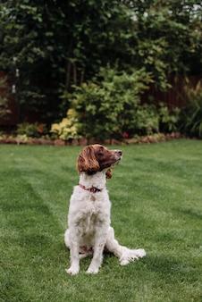 Pionowo strzał biały i brązowy pies z czerwoną smyczą na zielonej trawie patrzeje z boku