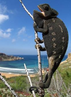 Pionowo zbliżenie pospolity kameleon na gałąź w ghajn tuffieha zatoce na malta