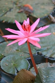 Pionowy obraz tętniącej życiem różowej kwitnącej lilii wodnej w stawie