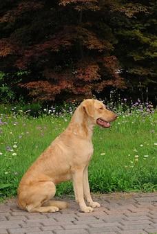 Pionowy portret dużego psa rasy chesapeake bay retriever siedzącego na chodniku w ogrodzie