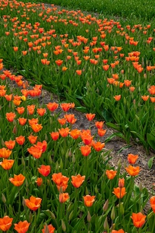 Pionowy wysoki kąt pięknych pomarańczowych tulipanów uchwyconych w ogrodzie tulipanów