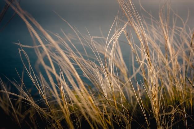 Piórkowa trawa o zachodzie słońca. piękne letnie zdjęcie do wydrukowania na płótnie.
