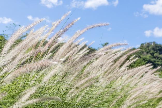 Piórkowa trawa w naturze