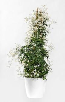 Piramida jasminum polyanthrum wspinająca się na ramę z trzech lasek
