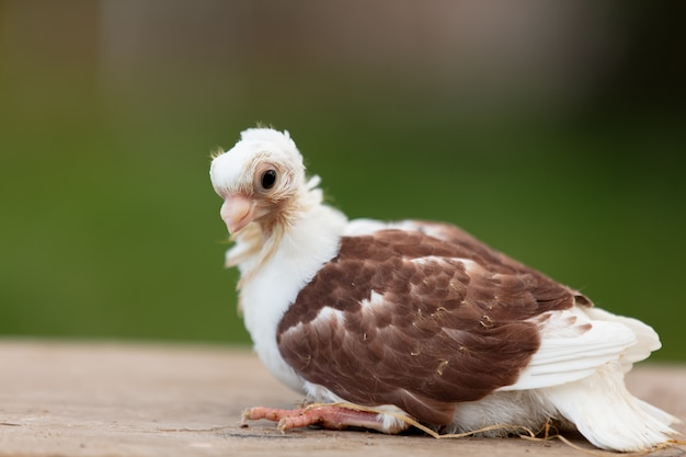 Pisklę gołębia na farmie