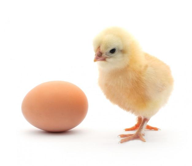 Pisklę i jajko