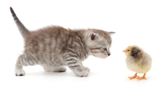 Pisklę i pręgowany kotek na białym tle
