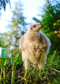 Pisklę jastrzębia zwyczajnego w gnieździe - accipiter gentilis.