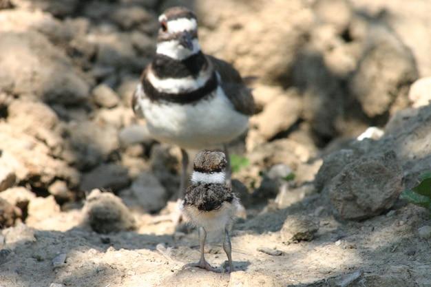 Pisklę siedzące na skałach, zwrócone w stronę ptasiej matki przed nim