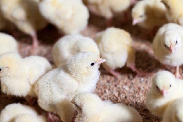 Pisklęta kurczaka ulepszonego genetycznie w konwencjonalnej fermie drobiu, gdzie kurczęta brojlery są hodowane na mięso i inne produkty drobiowe, młode kurczęta kurczaka mięsnego, zbliżenie