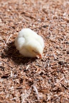 Pisklęta kurcząt na fermie drobiu, w której hodowane są kurczaki brojlery na mięso i inne produkty drobiowe, młode kurczęta brojlery