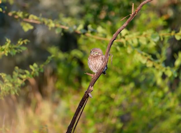 Pisklęta sówek w różnych zabawnych sytuacjach po opuszczeniu gniazda. z ciekawością badają otaczający ich świat.