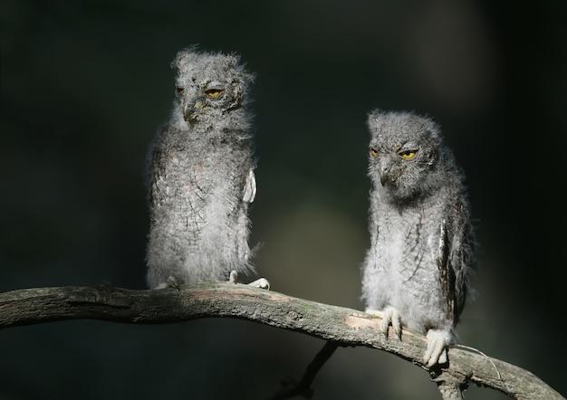 Pisklęta sowy syczka zwyczajnej są fotografowane indywidualnie i razem. ptaki siedzą na suchej gałęzi drzewa na rozmytym tle w promieniach łagodnego wieczornego słońca.