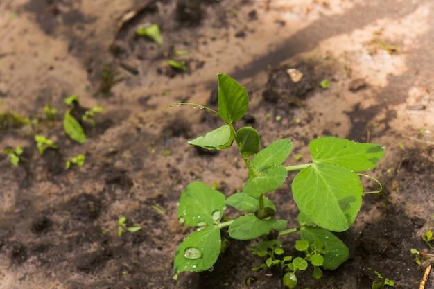Pisum sativum, groch, groszek ogrodowy w ogrodzie. jedzenie wegetariańskie.