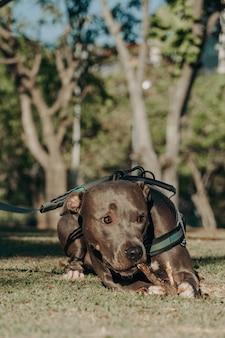 Pit bull pies bawiący się w parku o zachodzie słońca pitbull w słoneczny dzień i otwarta okolica z naturą