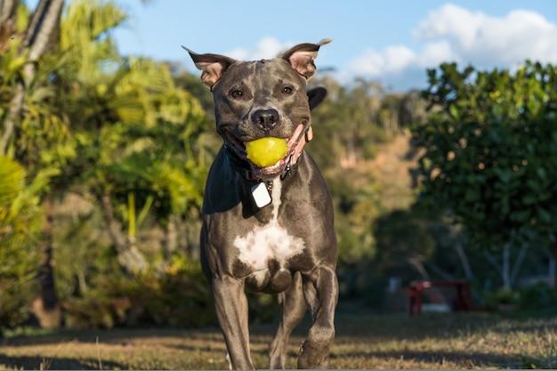 Pit bull pies grając w otwartym polu o zachodzie słońca. pitbull niebieski nos w słoneczny dzień z zieloną trawą i pięknym widokiem w tle. selektywne skupienie.