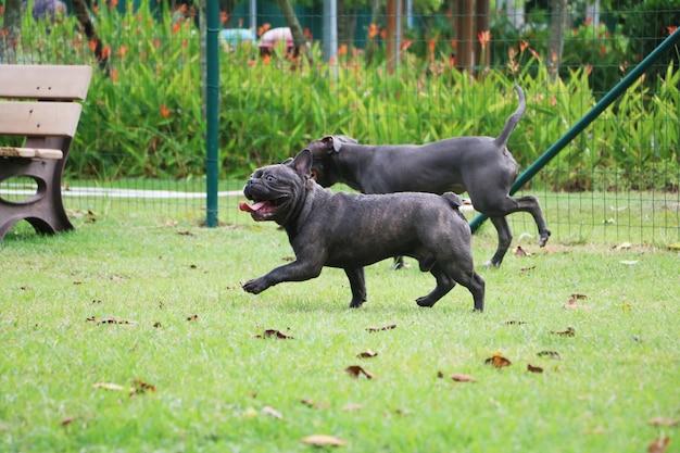Pit bull pies i buldog bawiący się w parku. słoneczny dzień.