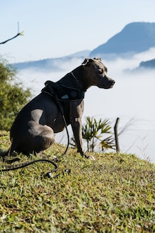 Pit bull pies obserwując chmury i mgłę na górze o wschodzie słońca. niebieski nos pitbull w słoneczny dzień z zieloną trawą i pięknym widokiem w tle. selektywne skupienie.