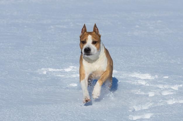 Pit bull terrier biegnie przez śnieg. rasa psów walczących. zdjęcie wysokiej jakości