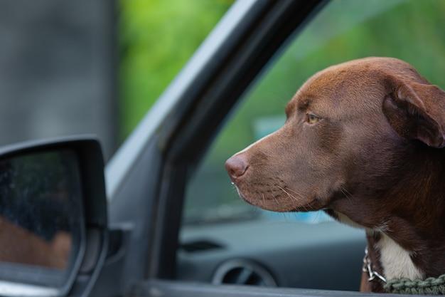 Pit bull terrier pies siedzi w samochodzie i wygląda przez okno samochodu
