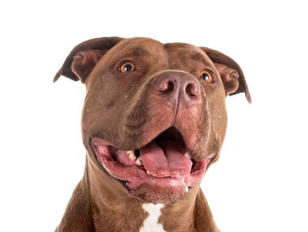 Pitbull czerwony nos na białym tle