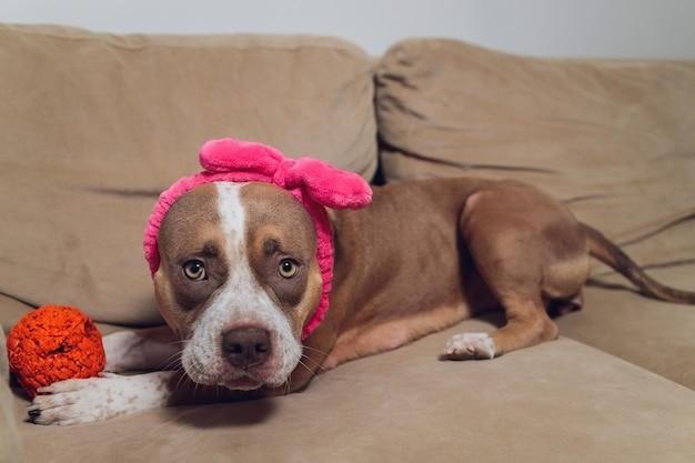 Pitbull szczeniak jest senny i relaksujący na kanapie.