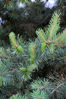 Pitch sosny ze świeżymi szyszkami i zielonymi igłami sosnowymi