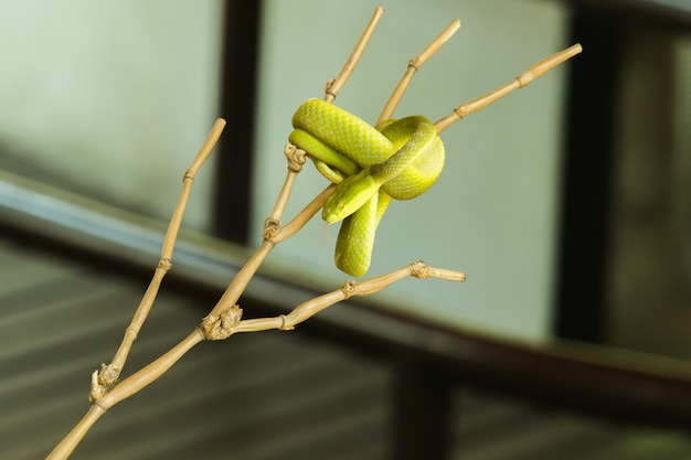 Pitviper z białą wargą na gałęzi często znajduje się w ogrodzie w pobliżu domu osoby