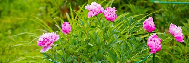 Piwonia georgeous w pełnym rozkwicie piwonia ogrodowa. pączek różowej piwonii w zieleni. koncepcja ogrodnictwa. piękny delikatnie różowo-biały kwiat piwonii frotte kwitnący w ogrodzie z fioletowymi kwiatami lawendy