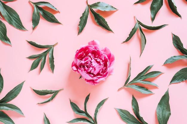 Piwonia na żywym różowym tle