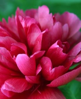 Piwonia różowa makro
