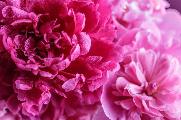 Piwonie. fioletowe piwonie kwiaty kwitną latem