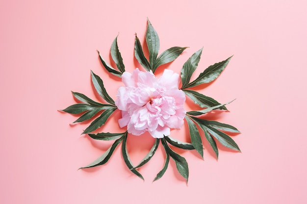 Piwonie na żywym różowym tle