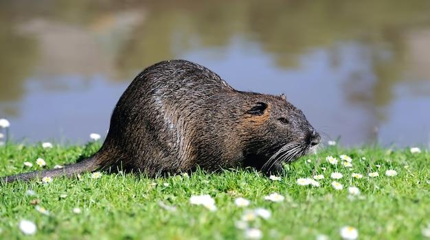Piżmak (ondatra zibethicus) w trawie na tle jeziora
