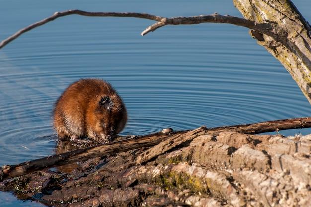 Piżmak, ondatra zibethicus żerujący na roślinności z jeziora