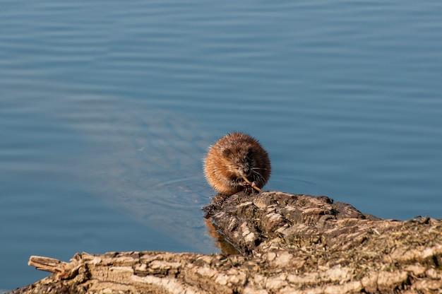 Piżmak żerujący na roślinności z jeziora