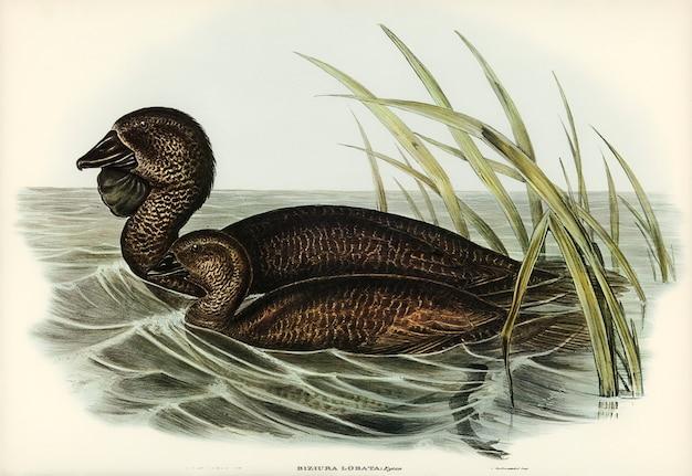 Piżmo kaczka (biziura lobata) zilustrowana przez elizabeth gould