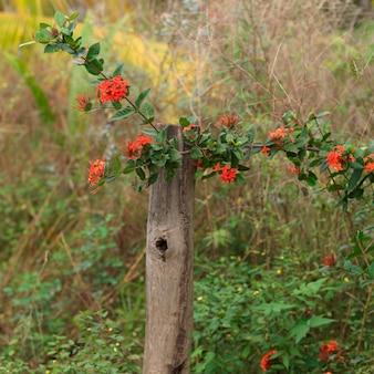 Placencia, kwiaty