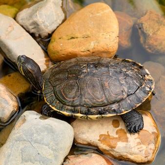 Placencia, turtle