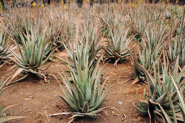 Plantacja aloe vera - wiele roślin zielonych na teneryfie, wyspy kanaryjskie, hiszpania.