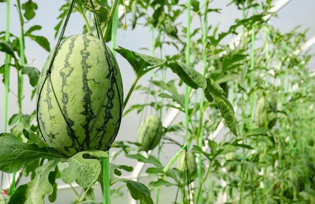Plantacja arbuza w szklarni z niedojrzałymi owocami tropikalnymi