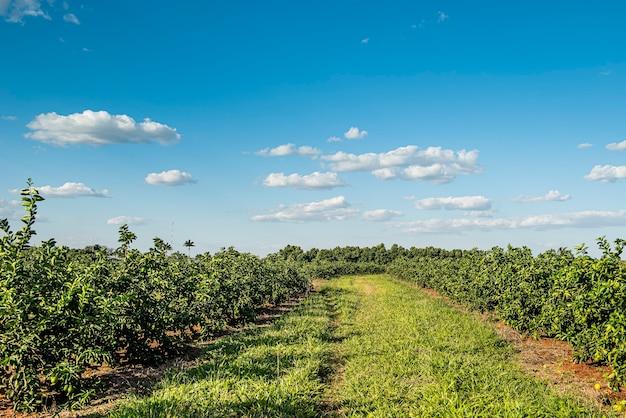 Plantacja cytryny w okresie wiosennym