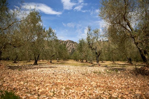 Plantacja drzew oliwnych. gałąź drzewa oliwnego strzelać przez dolly.oliwki na gałęzi.ripe olive on a tree.