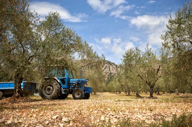 Plantacja drzew oliwnych. gałąź drzewa oliwnego strzelana przez dolly. samotna uprawa oliwek. oliwki na gałęzi.