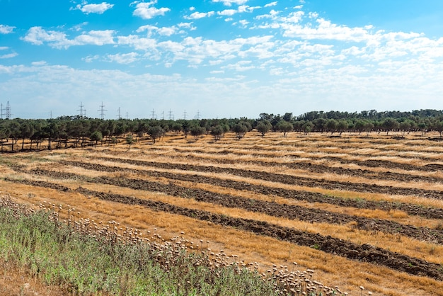 Plantacja drzew oliwnych